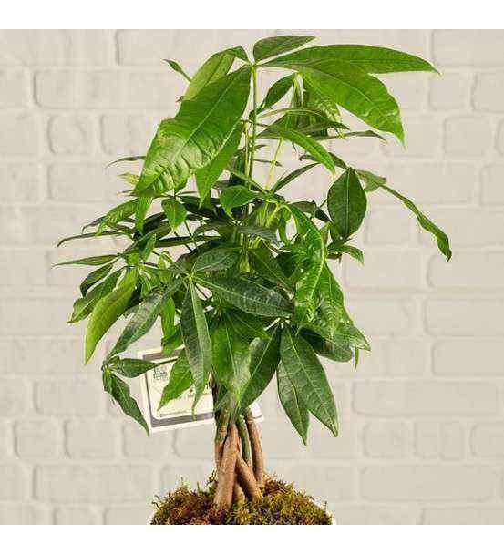 Pachira Para Ağacı 12-15 cm