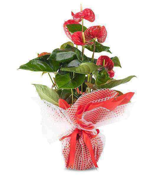 Antoryum İthal Saksı Çiçeği