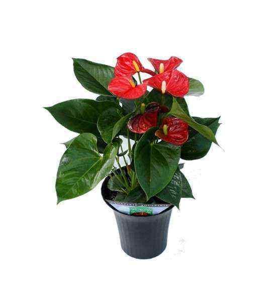 Antoryum Yerli Saksı Çiçeği