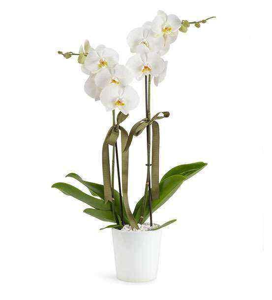 Orkide - 2 li Beyaz