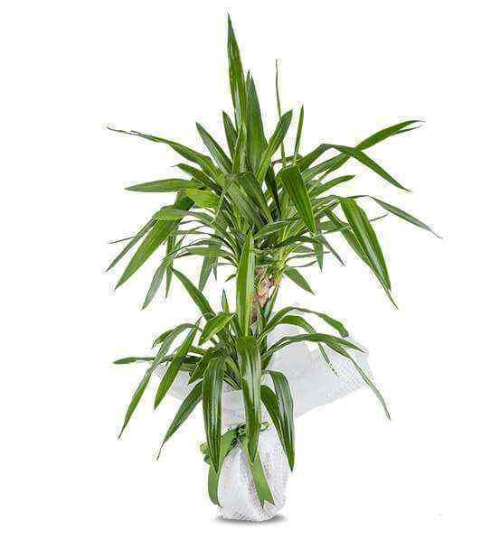 Yucca Saksı Çiçeği